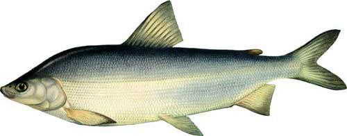 чир фото рыбы